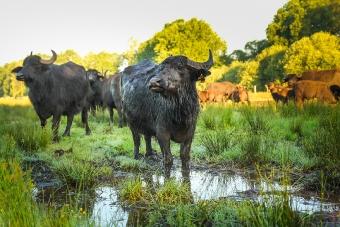 Das Zuhause der Wasserbüffel